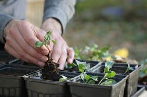 Transplant Seeds